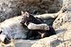 Hyena_Cub_MalaMala_2019_South_Africa_0009