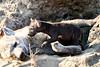 Hyena_Cub_MalaMala_2019_South_Africa_0010