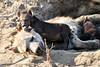 Hyena_Cub_MalaMala_2019_South_Africa_0018
