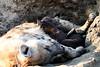 Hyena_Cub_MalaMala_2019_South_Africa_0005