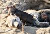Hyena_Cub_MalaMala_2019_South_Africa_0019