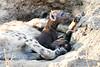 Hyena_Cub_MalaMala_2019_South_Africa_0002
