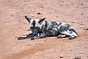 Wild_Dog_MalaMala_2019_South_Africa_0014