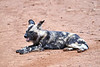Wild_Dog_MalaMala_2019_South_Africa_0018