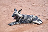 Wild_Dog_MalaMala_2019_South_Africa_0017