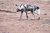 Wild_Dog_MalaMala_2019_South_Africa_0021