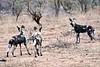 Wild_Dog_MalaMala_2019_South_Africa_0009
