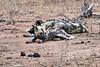 Wild_Dog_MalaMala_2019_South_Africa_0007