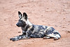 Wild_Dog_MalaMala_2019_South_Africa_0019