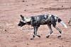 Wild_Dog_MalaMala_2019_South_Africa_0013
