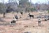 Wild_Dog_MalaMala_2019_South_Africa_0010