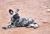 Wild_Dog_MalaMala_2019_South_Africa_0020