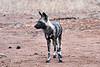 Wild_Dog_MalaMala_2019_South_Africa_0012