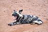 Wild_Dog_MalaMala_2019_South_Africa_0016