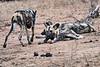 Wild_Dog_MalaMala_2019_South_Africa_0006
