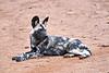Wild_Dog_MalaMala_2019_South_Africa_0015