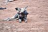 Wild_Dog_MalaMala_2019_South_Africa_0022