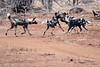 Wild_Dog_Playing_MalaMala_2019_South_Africa_0002