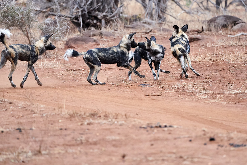 Wild_Dog_Playing_MalaMala_2019_South_Africa_0001