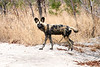 Wild_Dog_Playing_MalaMala_2019_South_Africa_0015