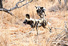 Wild_Dog_Playing_MalaMala_2019_South_Africa_0020