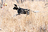 Wild_Dog_Playing_MalaMala_2019_South_Africa_0018