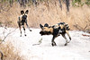 Wild_Dog_Playing_MalaMala_2019_South_Africa_0008