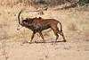 Sable_Antelope_MalaMala_2019_South_Africa_0015