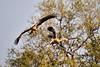Tawny_Eagle_MalaMala_2019_South_Africa_0010