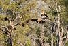 Tawny_Eagle_MalaMala_2019_South_Africa_0003