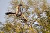Tawny_Eagle_MalaMala_2019_South_Africa_0012