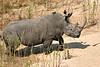 White_Rhino_MalaMala_2019_South_Africa_0003