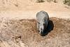 White_Rhino_MalaMala_2019_South_Africa_0015