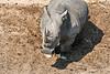 White_Rhino_MalaMala_2019_South_Africa_0019