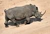 White_Rhino_MalaMala_2019_South_Africa_0008