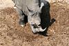 White_Rhino_MalaMala_2019_South_Africa_0012