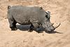 White_Rhino_MalaMala_2019_South_Africa_0006