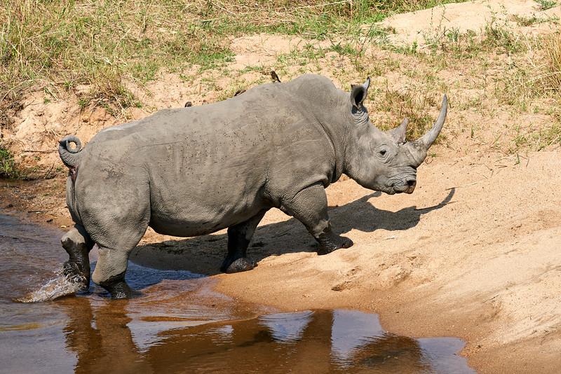 White_Rhino_MalaMala_2019_South_Africa_0001