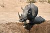 White_Rhino_MalaMala_2019_South_Africa_0011