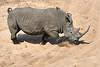 White_Rhino_MalaMala_2019_South_Africa_0007