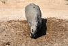 White_Rhino_MalaMala_2019_South_Africa_0014