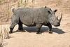 White_Rhino_MalaMala_2019_South_Africa_0005