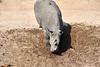 White_Rhino_MalaMala_2019_South_Africa_0013