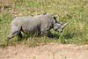 White_Rhino_MalaMala_2019_South_Africa_0002