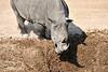 White_Rhino_MalaMala_2019_South_Africa_0010