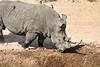 White_Rhino_MalaMala_2019_South_Africa_0009