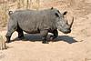 White_Rhino_MalaMala_2019_South_Africa_0004