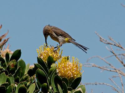 Cape sugarbird (Promerops cafer) female