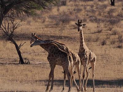 //en.wikipedia.org/wiki/Giraffe