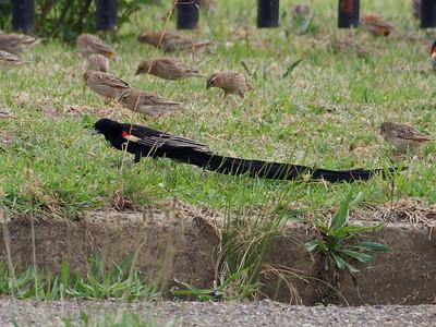 long-tailed widowbird (Euplectes progne)